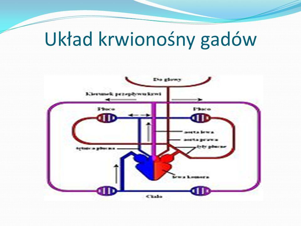 Układ krwionośny gadów