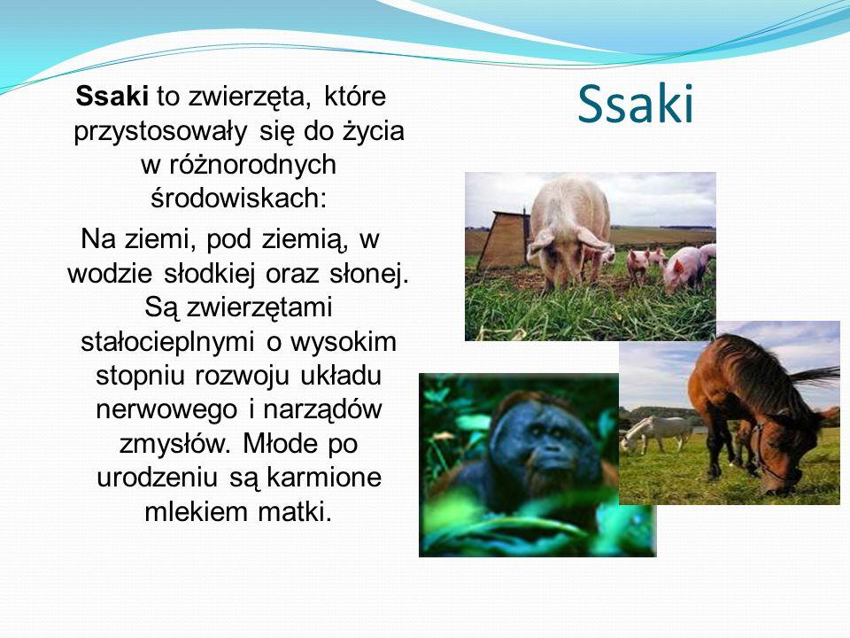 Ssaki Ssaki to zwierzęta, które przystosowały się do życia w różnorodnych środowiskach:
