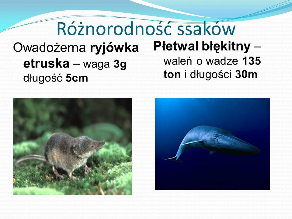 Różnorodność ssaków Płetwal błękitny – waleń o wadze 135 ton i długości 30m.