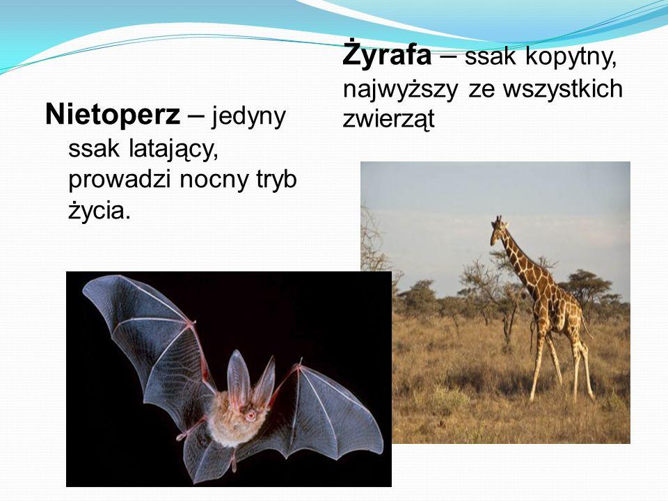 Żyrafa – ssak kopytny, najwyższy ze wszystkich zwierząt