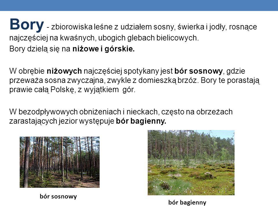 Bory - zbiorowiska leśne z udziałem sosny, świerka i jodły, rosnące najczęściej na kwaśnych, ubogich glebach bielicowych.
