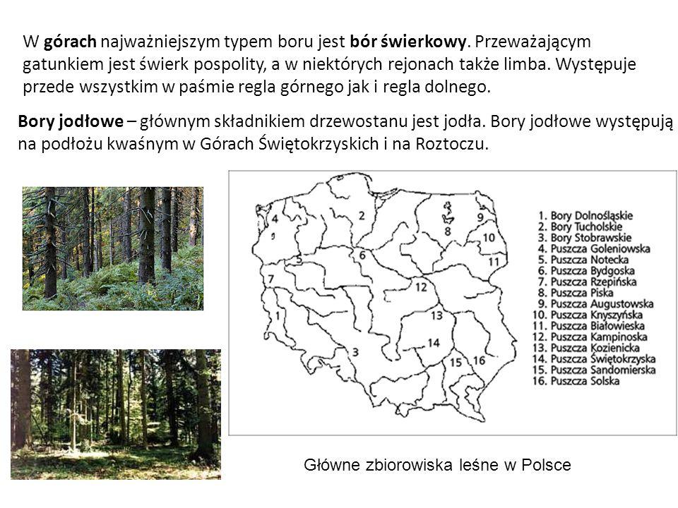 W górach najważniejszym typem boru jest bór świerkowy