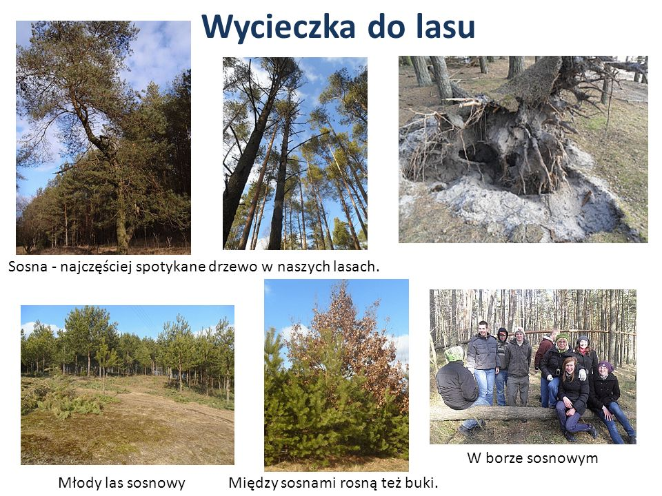 Wycieczka do lasu Sosna - najczęściej spotykane drzewo w naszych lasach. W borze sosnowym. Młody las sosnowy.