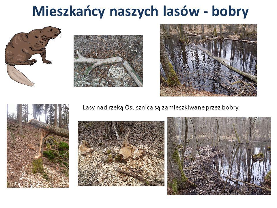 Mieszkańcy naszych lasów - bobry