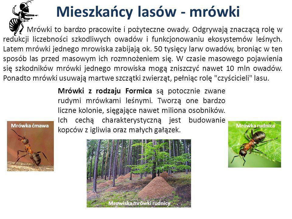 Mieszkańcy lasów - mrówki Mrowiska mrówki rudnicy