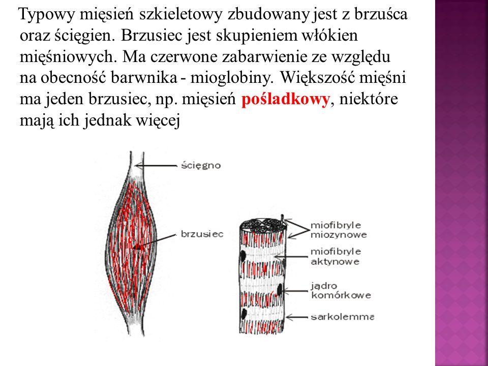 Typowy mięsień szkieletowy zbudowany jest z brzuśca oraz ścięgien