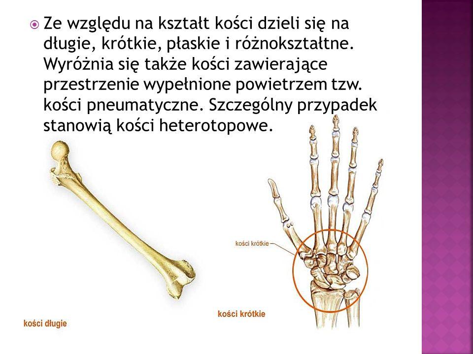 Ze względu na kształt kości dzieli się na długie, krótkie, płaskie i różnokształtne.