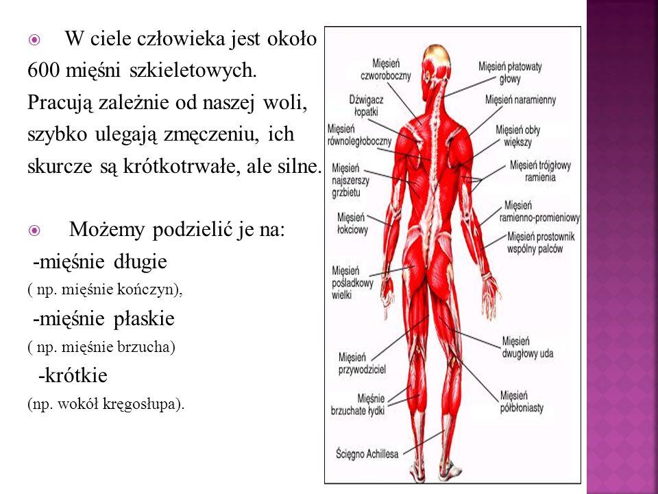 W ciele człowieka jest około 600 mięśni szkieletowych.
