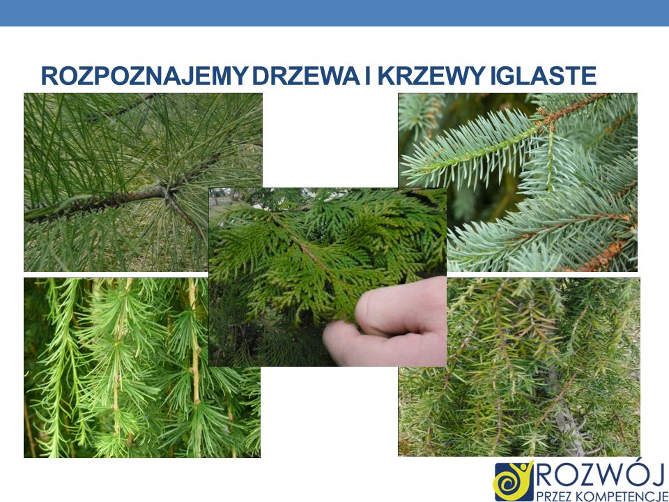 Rozpoznajemy drzewa i krzewy iglaste