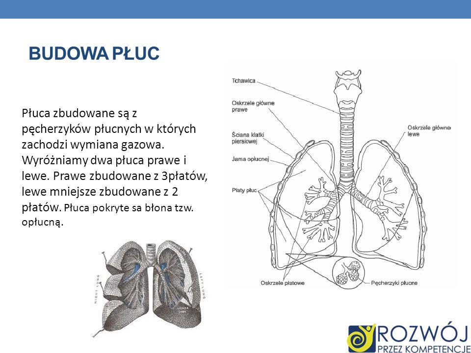 Budowa płuc