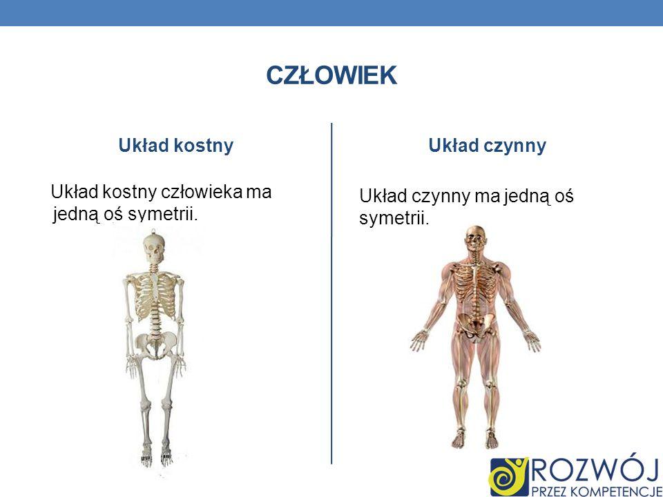 Człowiek Układ kostny Układ czynny