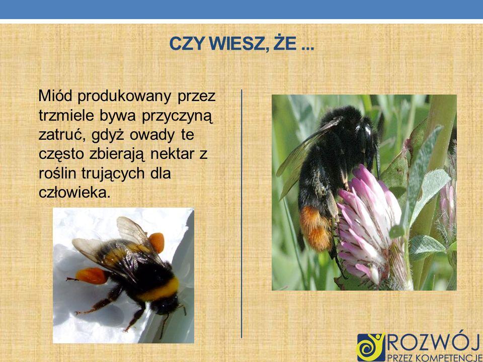 Czy wiesz, że ...Miód produkowany przez trzmiele bywa przyczyną zatruć, gdyż owady te często zbierają nektar z roślin trujących dla człowieka.