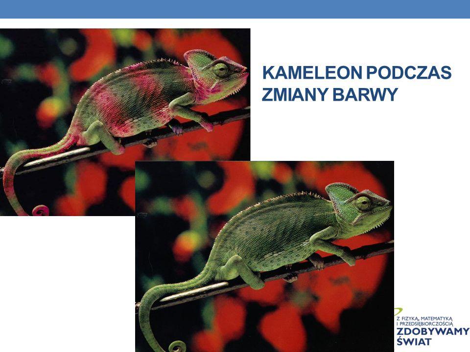 Kameleon podczas zmiany barwy