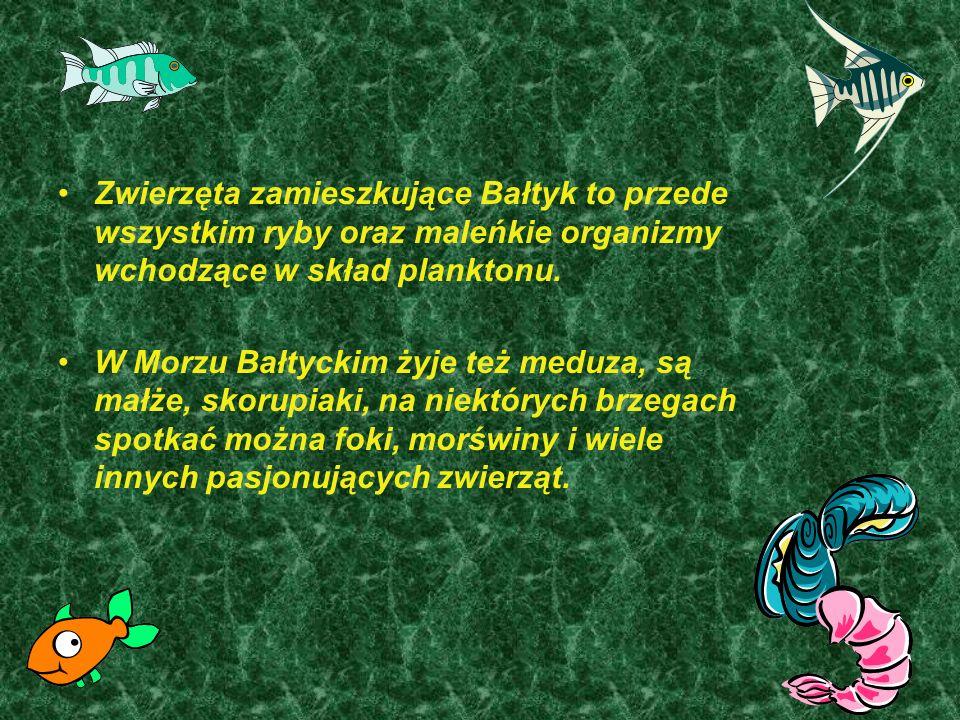 Zwierzęta zamieszkujące Bałtyk to przede wszystkim ryby oraz maleńkie organizmy wchodzące w skład planktonu.