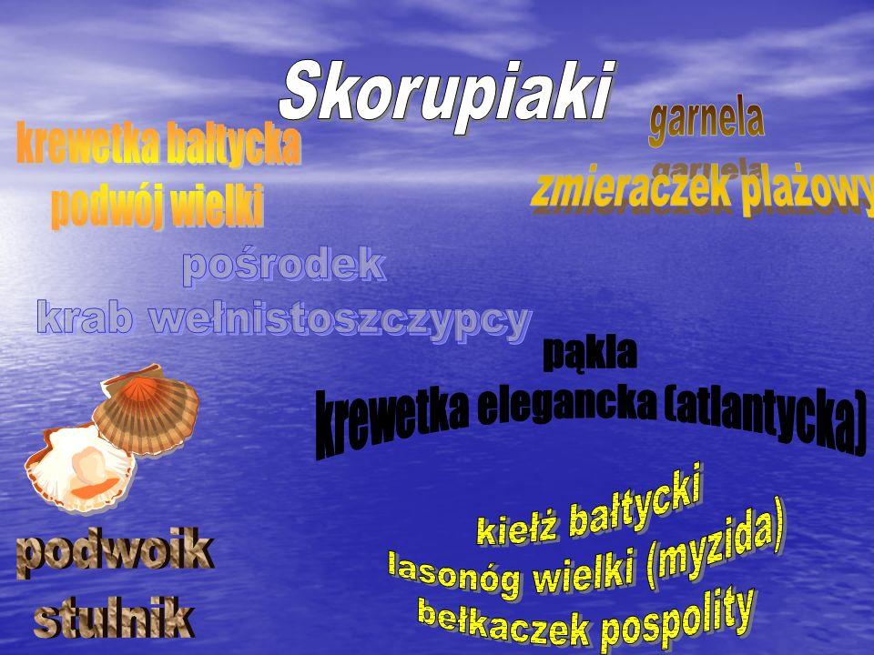 krab wełnistoszczypcy pąkla krewetka elegancka (atlantycka)