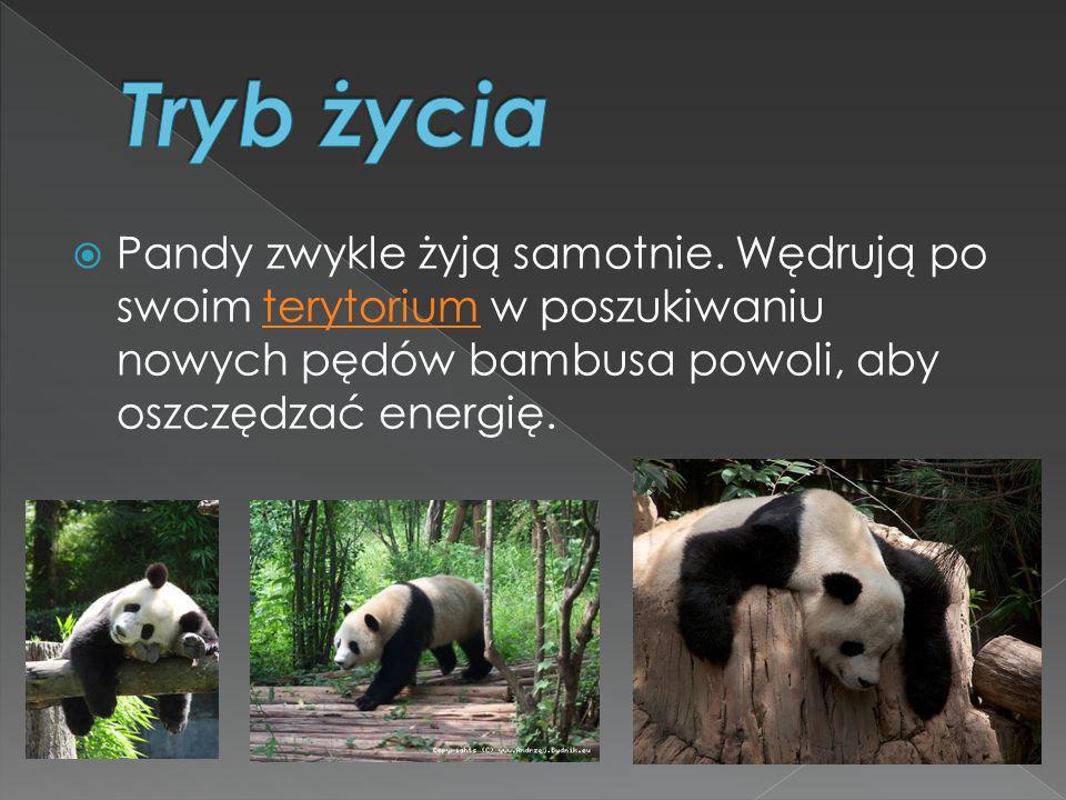 Tryb życia Pandy zwykle żyją samotnie.