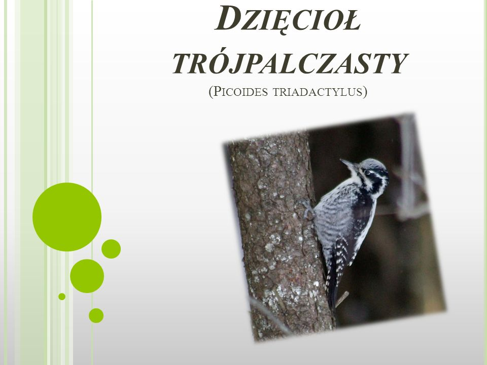 Dzięcioł trójpalczasty (Picoides triadactylus)