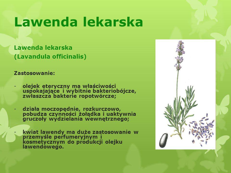 Lawenda lekarska Lawenda lekarska (Lavandula officinalis)