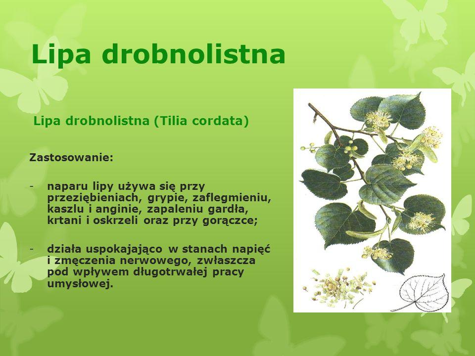 Lipa drobnolistna Lipa drobnolistna (Tilia cordata) Zastosowanie: