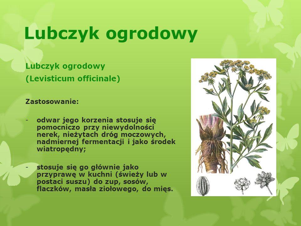 Lubczyk ogrodowy Lubczyk ogrodowy (Levisticum officinale)