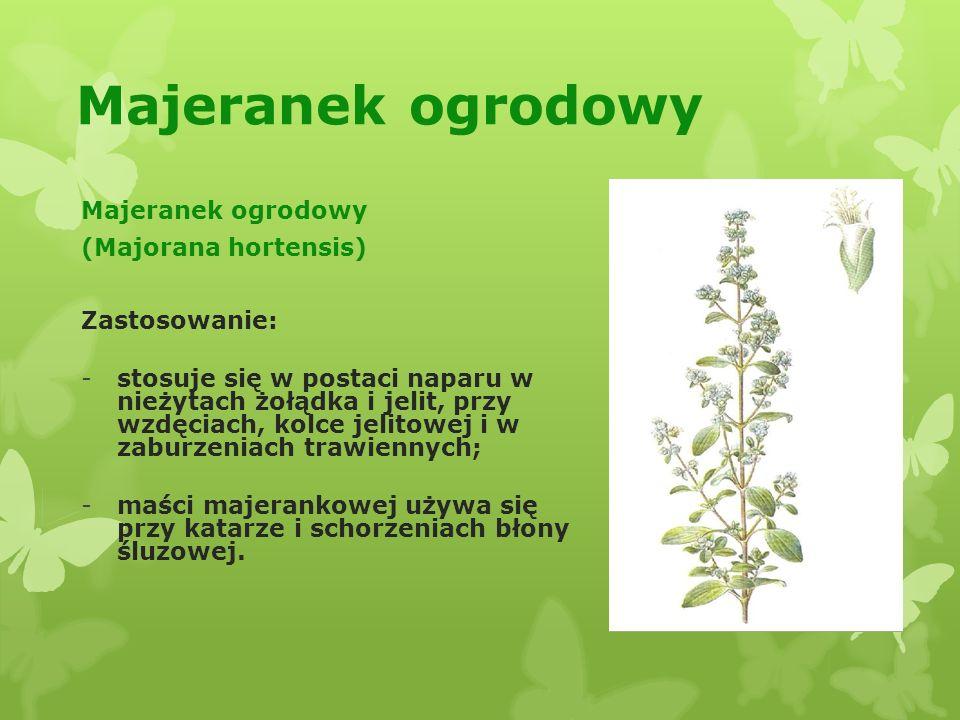 Majeranek ogrodowy Majeranek ogrodowy (Majorana hortensis)