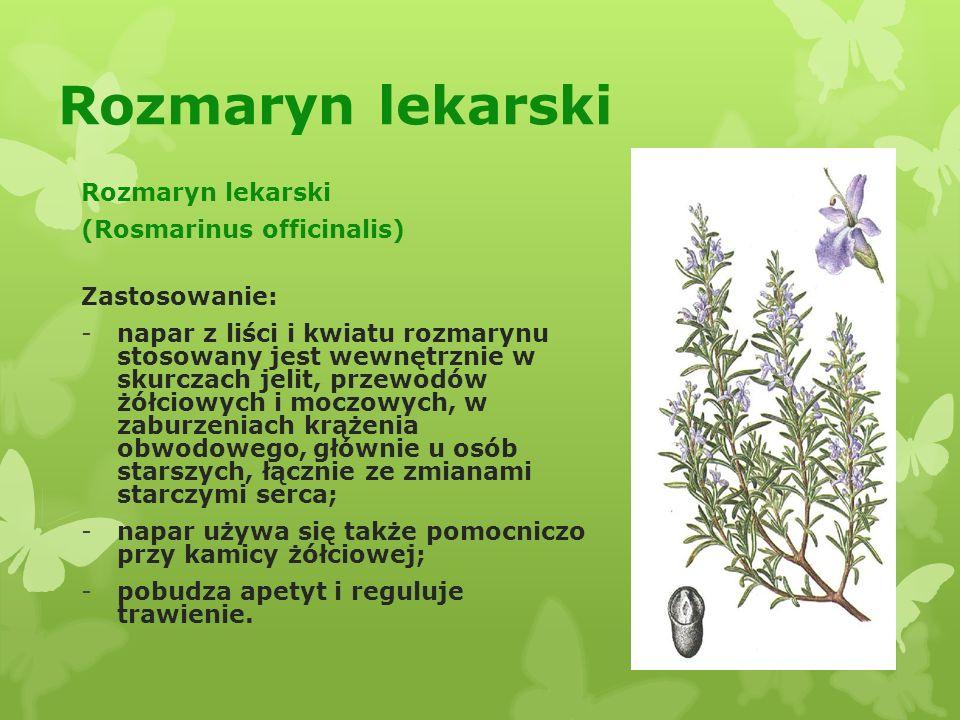 Rozmaryn lekarski Rozmaryn lekarski (Rosmarinus officinalis)