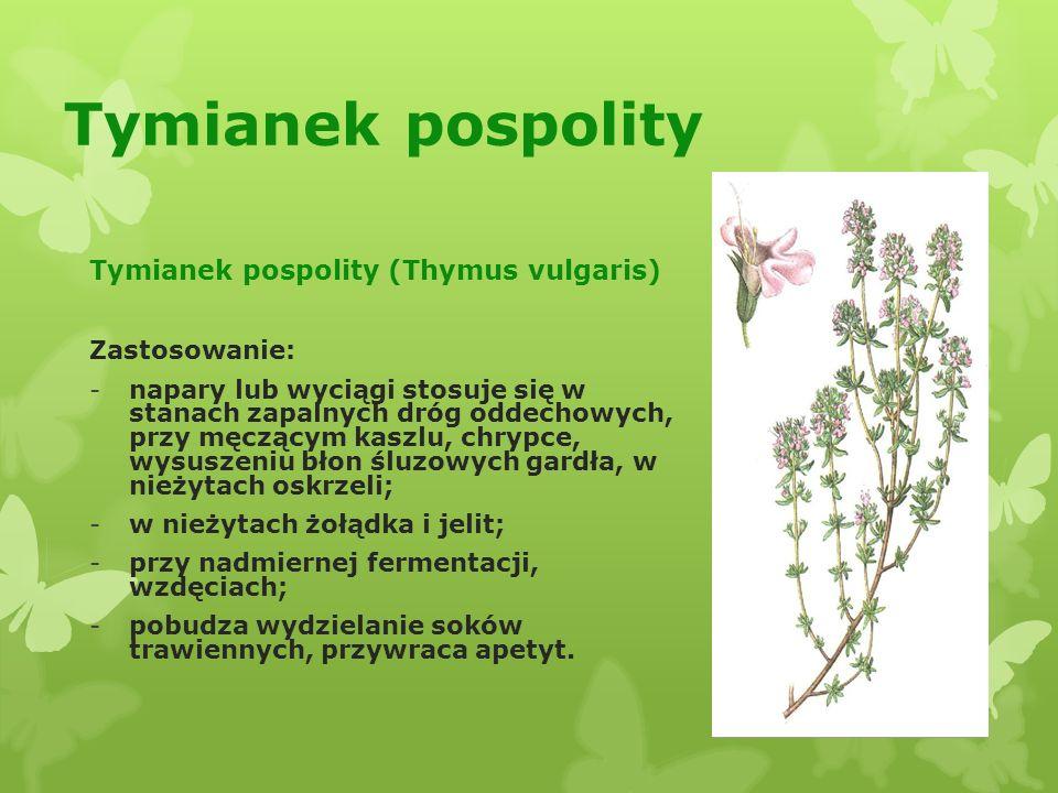 Tymianek pospolity Tymianek pospolity (Thymus vulgaris) Zastosowanie: