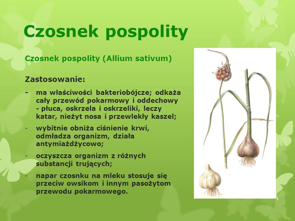 Czosnek pospolity Czosnek pospolity (Allium sativum) Zastosowanie: