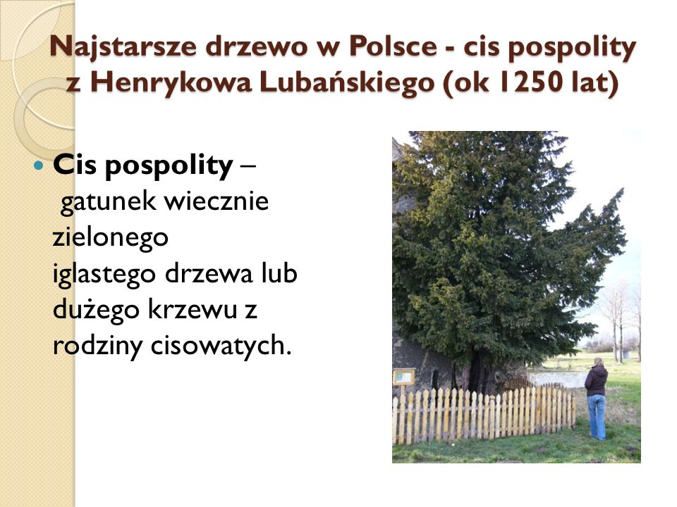 Najstarsze drzewo w Polsce - cis pospolity z Henrykowa Lubańskiego (ok 1250 lat)
