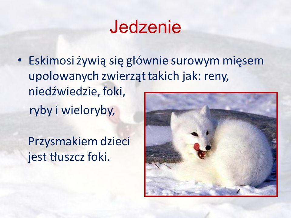 Jedzenie Eskimosi żywią się głównie surowym mięsem upolowanych zwierząt takich jak: reny, niedźwiedzie, foki,