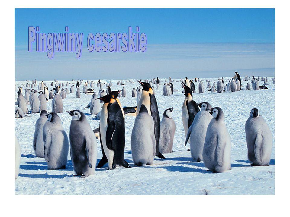 Pingwiny cesarskie