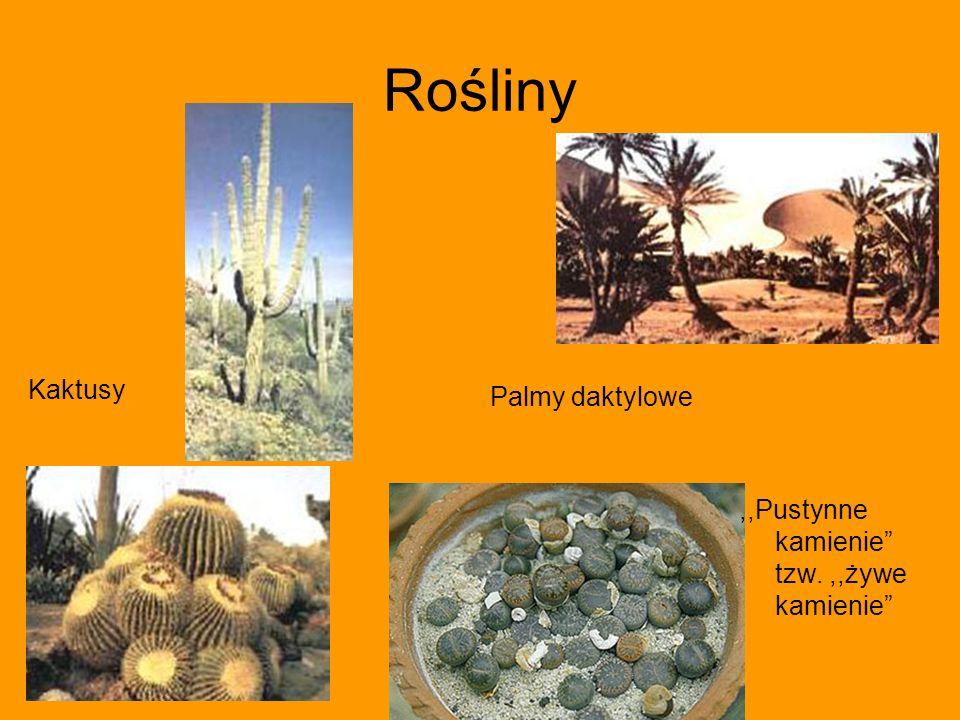 Rośliny Kaktusy Palmy daktylowe