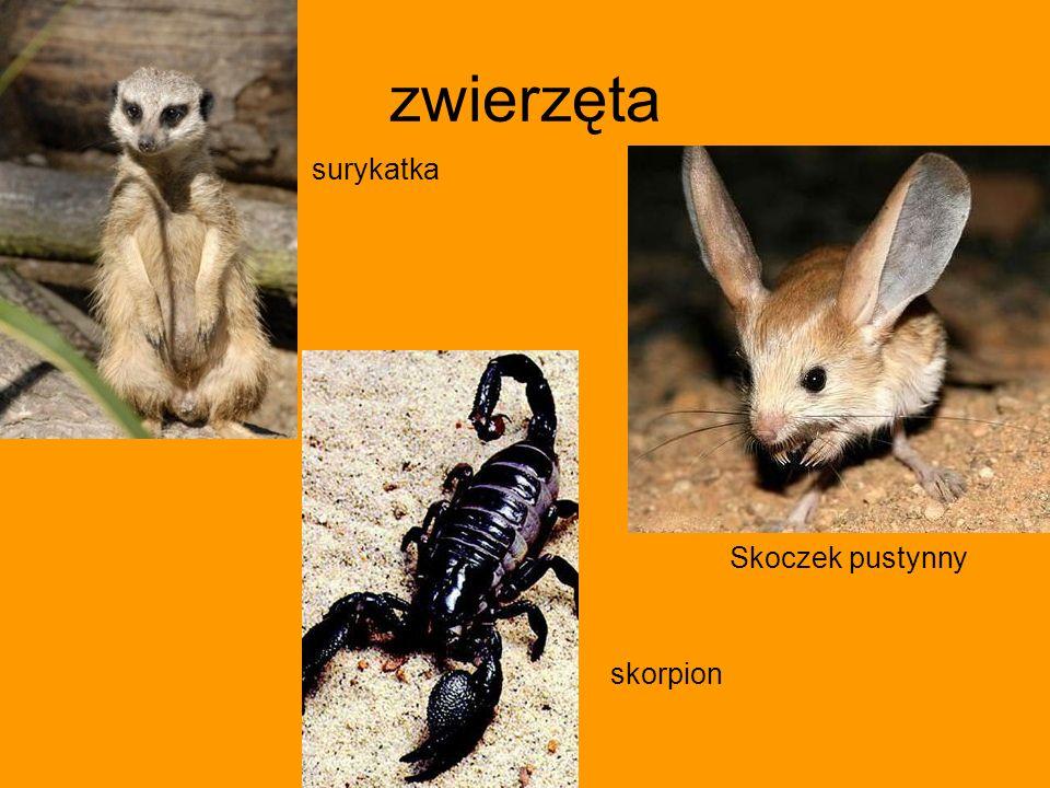 zwierzęta surykatka Skoczek pustynny skorpion