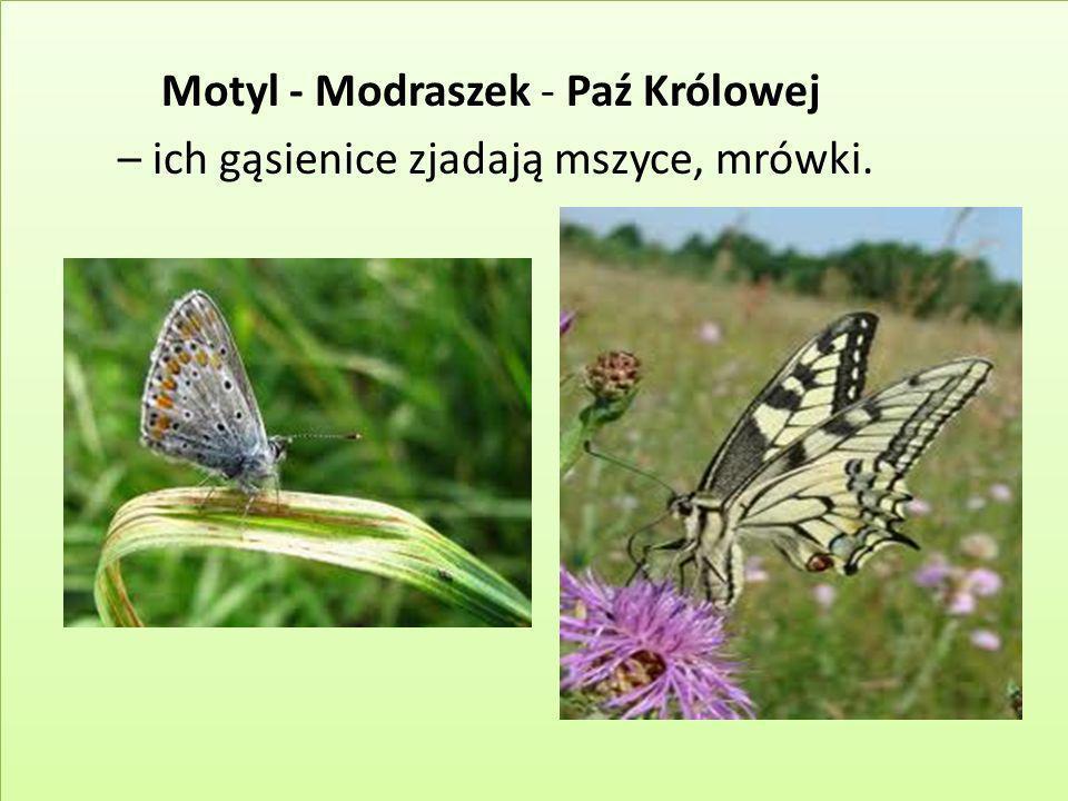 Motyl - Modraszek - Paź Królowej – ich gąsienice zjadają mszyce, mrówki.