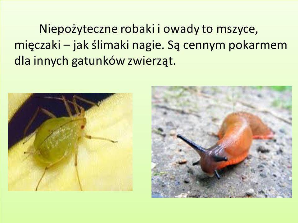 Niepożyteczne robaki i owady to mszyce, mięczaki – jak ślimaki nagie