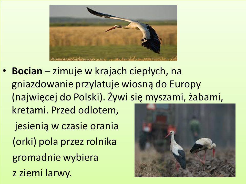 Bocian – zimuje w krajach ciepłych, na gniazdowanie przylatuje wiosną do Europy (najwięcej do Polski). Żywi się myszami, żabami, kretami. Przed odlotem,