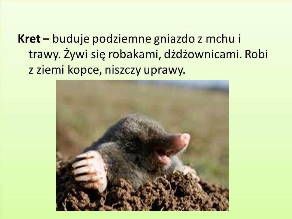 Kret – buduje podziemne gniazdo z mchu i trawy