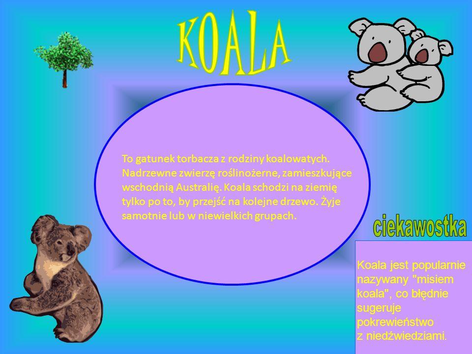 KOALA ciekawostka To gatunek torbacza z rodziny koalowatych.