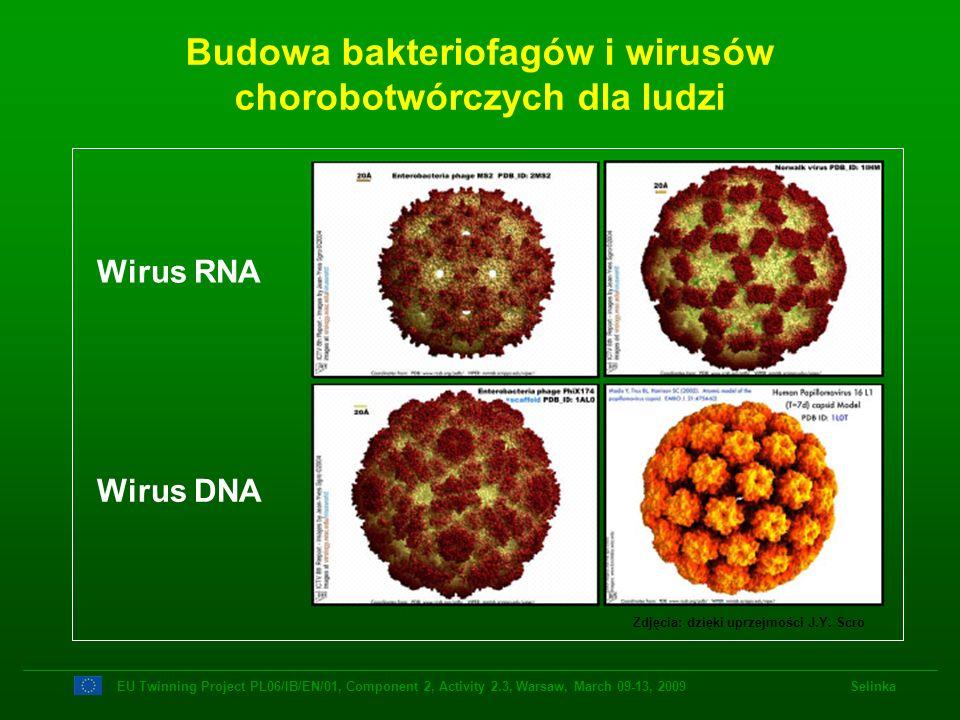 Budowa bakteriofagów i wirusów chorobotwórczych dla ludzi