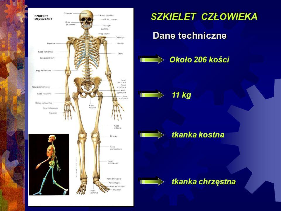SZKIELET CZŁOWIEKA Dane techniczne Około 206 kości 11 kg tkanka kostna