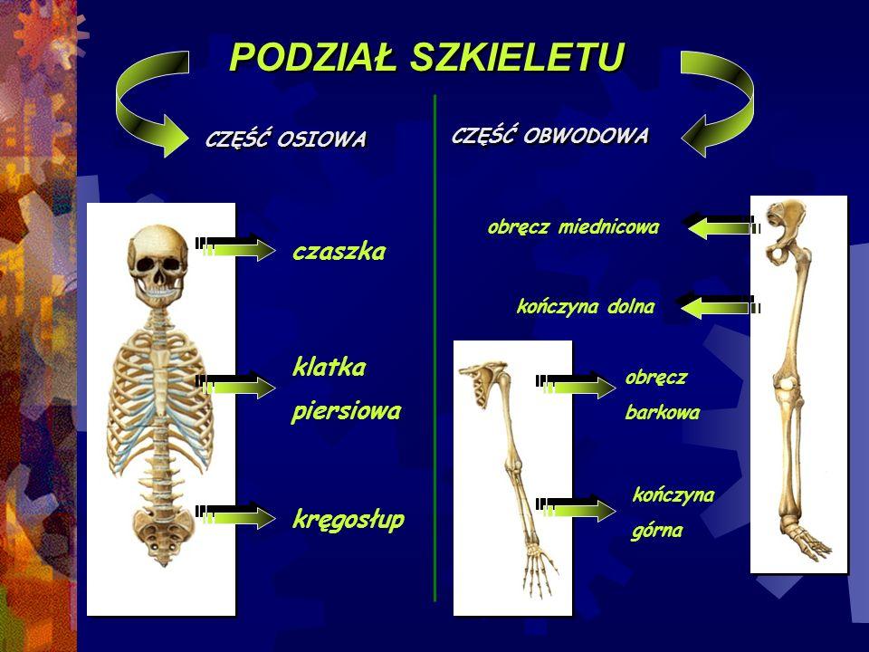 PODZIAŁ SZKIELETU czaszka klatka piersiowa kręgosłup CZĘŚĆ OBWODOWA