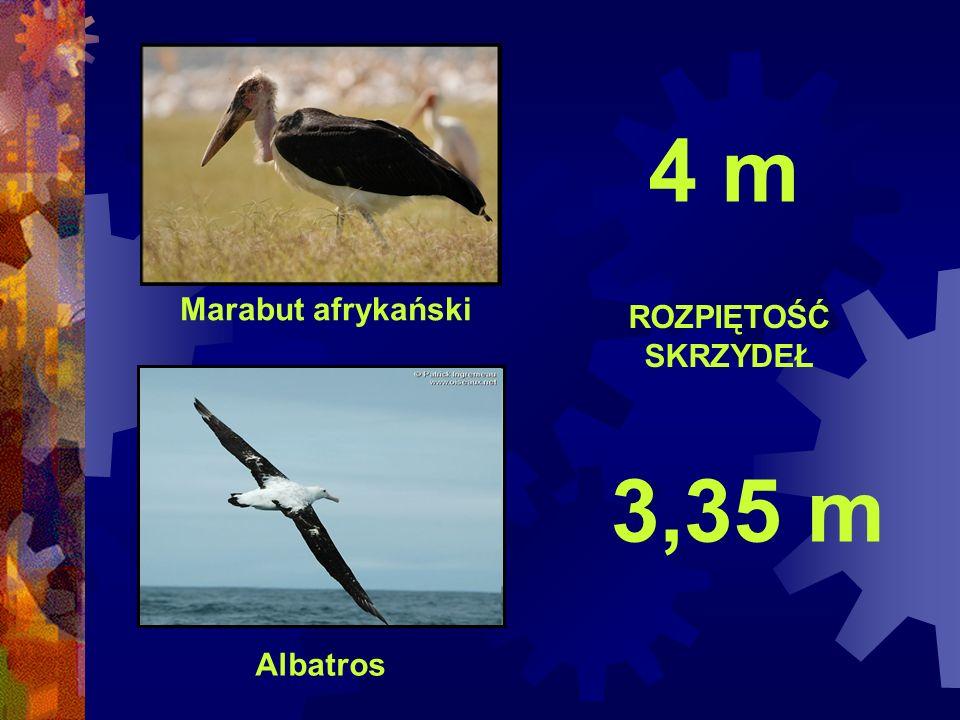 4 m Marabut afrykański ROZPIĘTOŚĆ SKRZYDEŁ 3,35 m Albatros