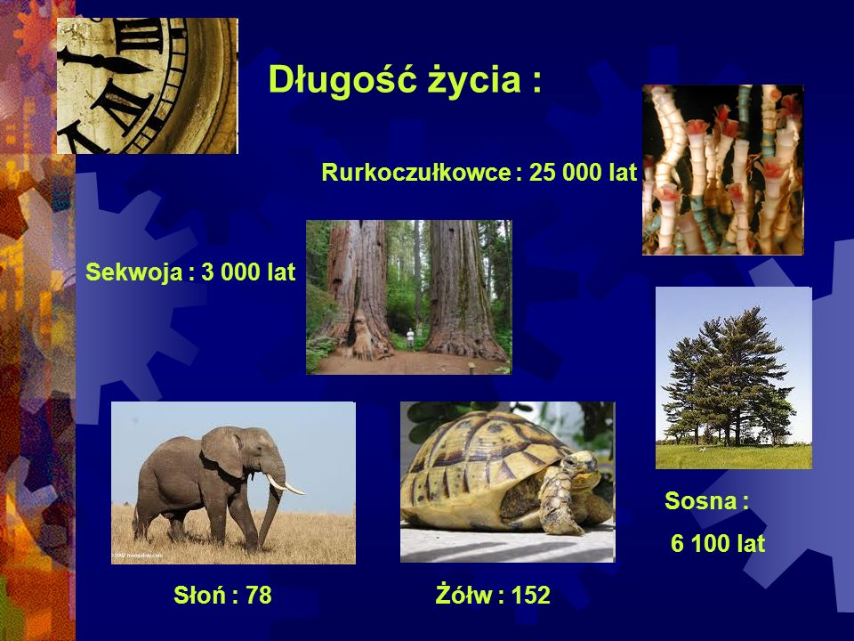 Długość życia : Rurkoczułkowce : 25 000 lat Sekwoja : 3 000 lat
