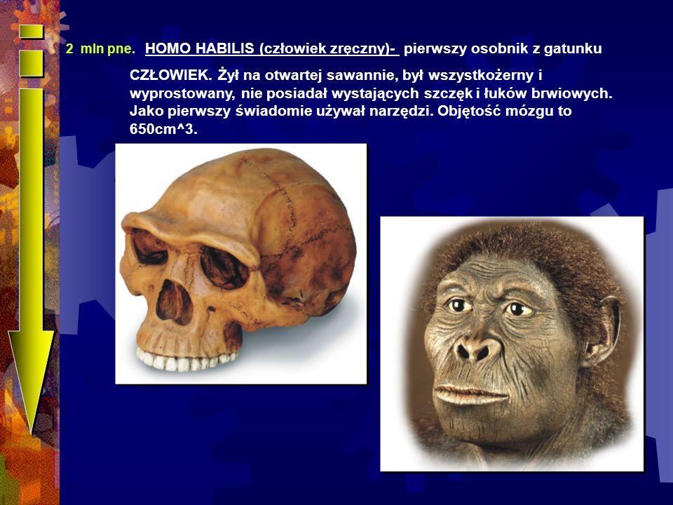 2 mln pne. HOMO HABILIS (człowiek zręczny)- pierwszy osobnik z gatunku