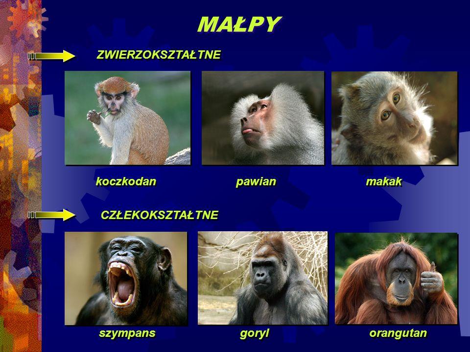 MAŁPY ZWIERZOKSZTAŁTNE koczkodan pawian makak CZŁEKOKSZTAŁTNE szympans