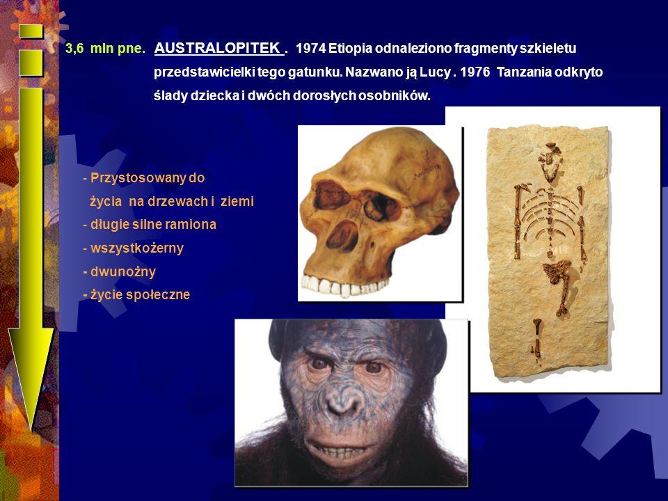 3,6 mln pne. AUSTRALOPITEK . 1974 Etiopia odnaleziono fragmenty szkieletu