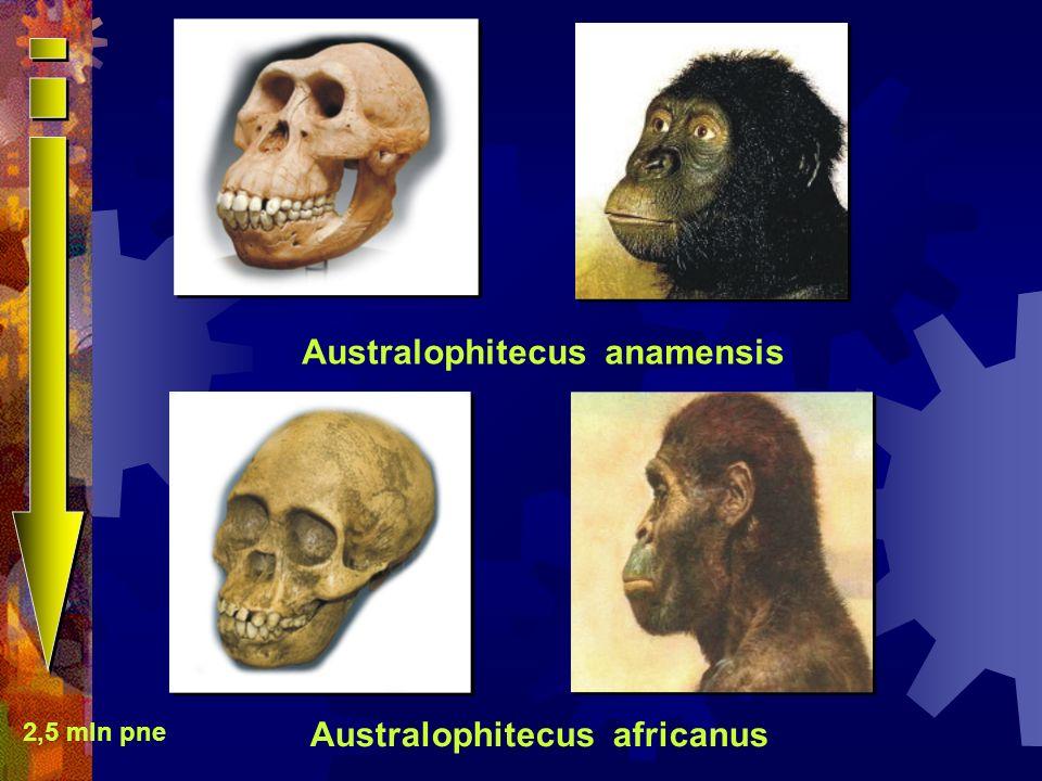 Australophitecus anamensis