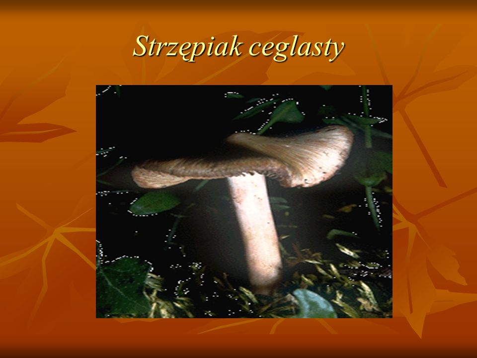 Strzępiak ceglasty