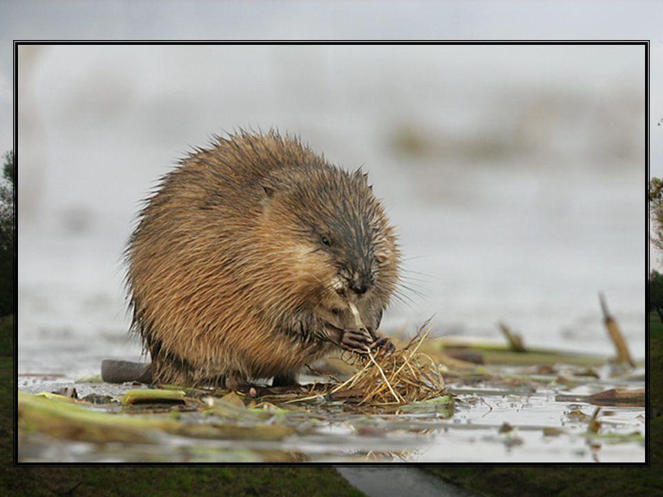 Piżmak należy do zwierząt ziemno-wodnych żyjących w koloniach