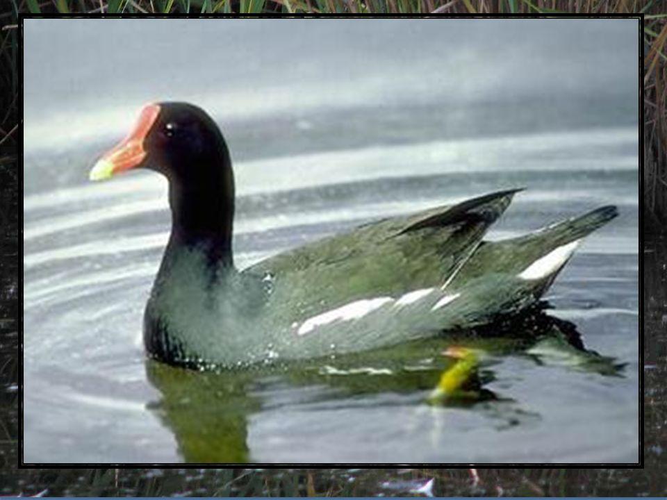 Kokoszki wodne są w Polsce dość licznymi ptakami lęgowymi